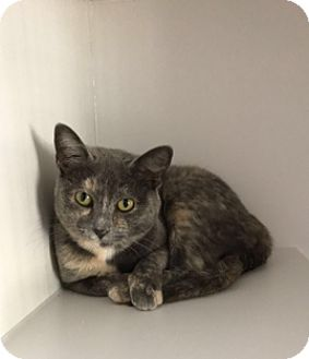 Domestic Shorthair Cat for adoption in Gadsden, Alabama - Coba