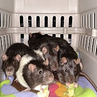 Rat for adoption in Hamden, Connecticut - male rats