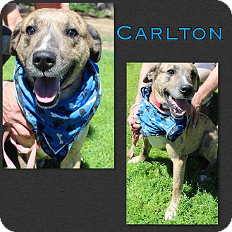Catahoula Leopard Dog/Border Collie Mix Dog for adoption in Brent, Alabama - Carlton