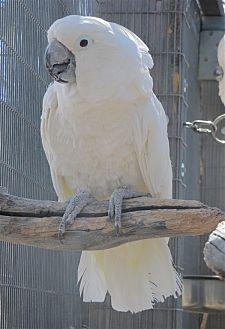 Cockatoo for adoption in Elizabeth, Colorado - Katie