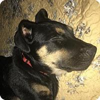 Labrador Retriever Mix Puppy for adoption in ROSENBERG, Texas - Linus
