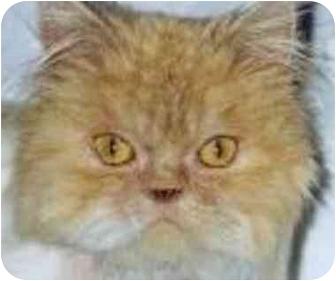 Persian Cat for adoption in Thousand Oaks, California - Halim