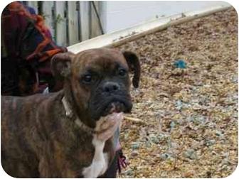 Boxer Dog for adoption in W. Columbia, South Carolina - Mahalo