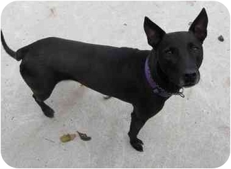 Labrador Retriever/Pharaoh Hound Mix Dog for adoption in Skillman, New Jersey - Luca