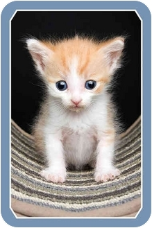 Domestic Shorthair Kitten for adoption in Sterling Heights, Michigan - Archie - ADOPTED!