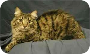 Maine Coon Cat for adoption in Sacramento, California - Bean