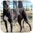 Photo 1 - Greyhound Dog for adoption in Dallas, Texas - Glory