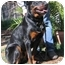 Photo 3 - Rottweiler Dog for adoption in Tracy, California - Fritz