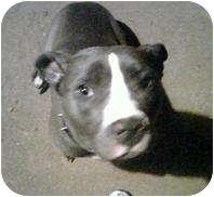 American Pit Bull Terrier Dog for adoption in Killen, Alabama - Momma D