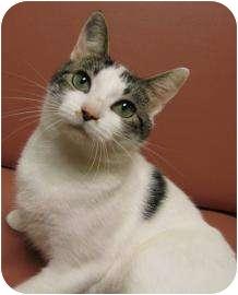 Domestic Shorthair Cat for adoption in Jackson, Michigan - Coconut