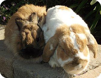 Lop-Eared Mix for adoption in Bonita, California - Tigger
