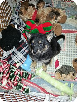German Shepherd Dog Mix Puppy for adoption in Orland Park, Illinois - Zoey
