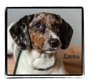Dachshund Mix Dog for adoption in Warren, Pennsylvania - Emma