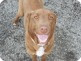 Chesapeake Bay Retriever/German Shepherd Dog Mix Dog for adoption in Chesterfield, Virginia - Roxie