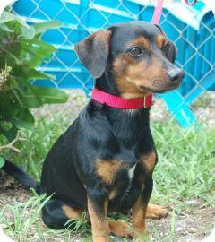 Dachshund Mix Dog for adoption in Bradenton, Florida - Preston