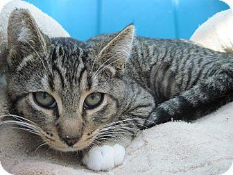 Domestic Shorthair Kitten for adoption in Encinitas, California - Ellie