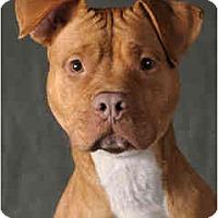 Adopt A Pet :: Lexi - Chicago, IL