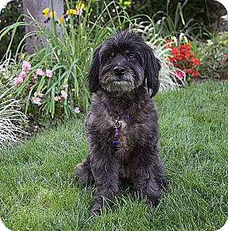 Poodle (Miniature)/Terrier (Unknown Type, Small) Mix Dog for adoption in Newport Beach, California - SID