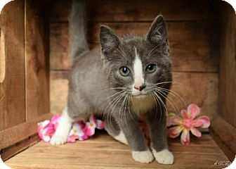 Domestic Shorthair Cat for adoption in Germantown, Maryland - Jay Catsby