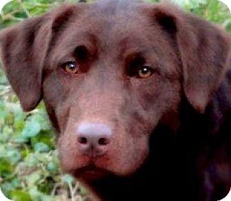 Labrador Retriever Dog for adoption in Wakefield, Rhode Island - MISS JOSIE(OUR LAB PETITE!)