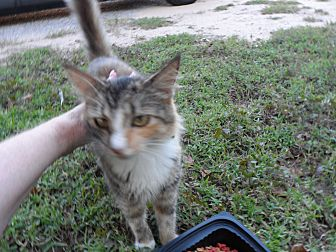 American Shorthair Cat for adoption in Pensacola, Florida - Blossom