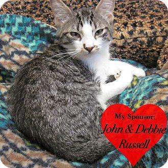 Domestic Shorthair Kitten for adoption in San Leon, Texas - Chadwick