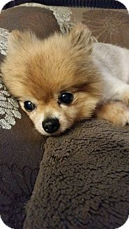 Pomeranian Mix Dog for adoption in Fountain Valley, California - Twinkie
