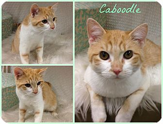 Domestic Shorthair Cat for adoption in Joliet, Illinois - Caboodle