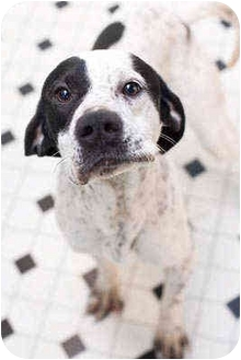 English Pointer Dog for adoption in Portland, Oregon - Prince
