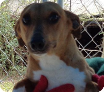 Jack Russell Terrier/Rat Terrier Mix Dog for adoption in Crump, Tennessee - Jesse
