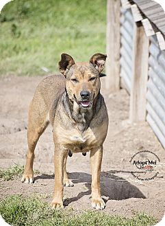 Hound (Unknown Type)/Labrador Retriever Mix Dog for adoption in Iola, Texas - Kendall