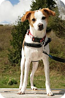 Jack Russell Terrier Mix Dog for adoption in Bellingham, Washington - Bowie