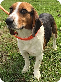 Beagle Mix Dog for adoption in Savannah, Georgia - Titus 2