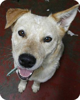 Australian Cattle Dog Dog for adoption in Jarrell, Texas - Jessie