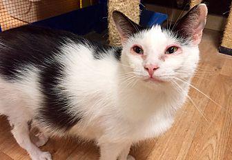 Domestic Shorthair Cat for adoption in Wilmington, Delaware - Sorento