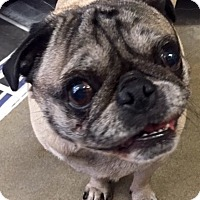 Adopt A Pet :: Alice AKA Bella - Canoga Park, CA