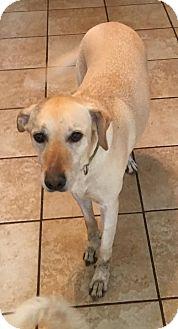 Labrador Retriever/Labrador Retriever Mix Dog for adoption in Olympia, Washington - Callie H