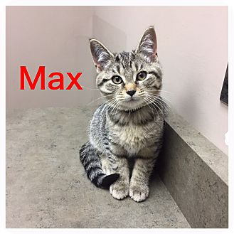 Domestic Shorthair Kitten for adoption in Woodstock, Ontario - Max