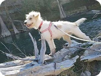 Wirehaired Fox Terrier/Poodle (Standard) Mix Puppy for adoption in Allentown, Pennsylvania - Ava