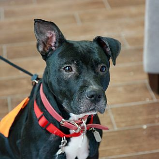 Pit Bull Terrier Mix Dog for adoption in New York, New York - JELLY
