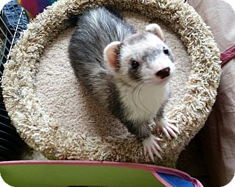 Ferret for adoption in Brandy Station, Virginia - HARLEY & IVY & SNOW & SCOOTER
