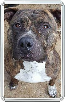 American Staffordshire Terrier Mix Dog for adoption in Lancaster, California - Sandy