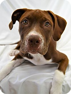 Pit Bull Terrier Mix Puppy for adoption in Michigan City, Indiana - Jonah