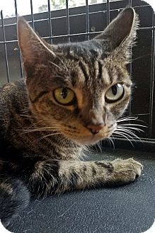 Domestic Shorthair Cat for adoption in Queens, New York - Bubbles
