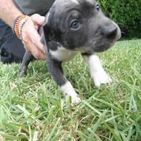 Adopt A Pet :: Peanut - Kirby, TX