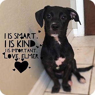 Labrador Retriever Mix Puppy for adoption in Tampa, Florida - Elmer