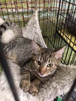Domestic Shorthair/Domestic Shorthair Mix Cat for adoption in McDonough, Georgia - Orono (Kit 1 Momcat 6/1/17)