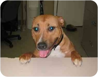 American Pit Bull Terrier Mix Dog for adoption in Providence, Rhode Island - Sugar