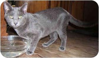 Russian Blue Cat for adoption in Dallas, Texas - BooBoo