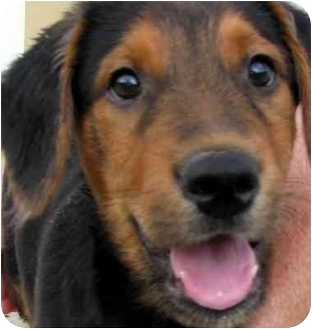 Rottweiler Mix Puppy for adoption in Chapel Hill, North Carolina - Sampson